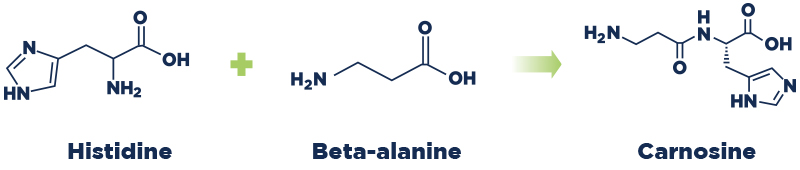 Elemental chart showing histidine and beta-alanine make carnosine