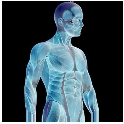 blue skeletal muscle shape of a man
